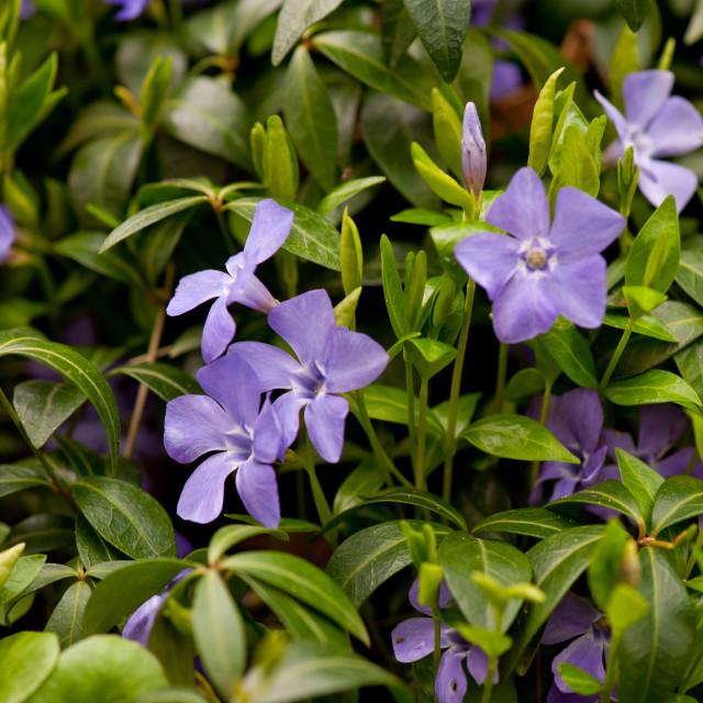 """""""Purple Vinca or Periwinkle flowers"""" stock image"""