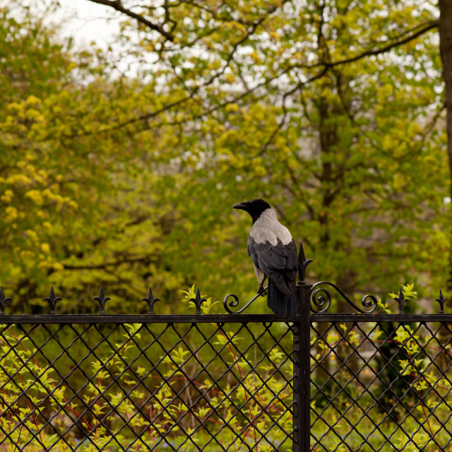 """Corvus cornix hooded crow"" stock image"
