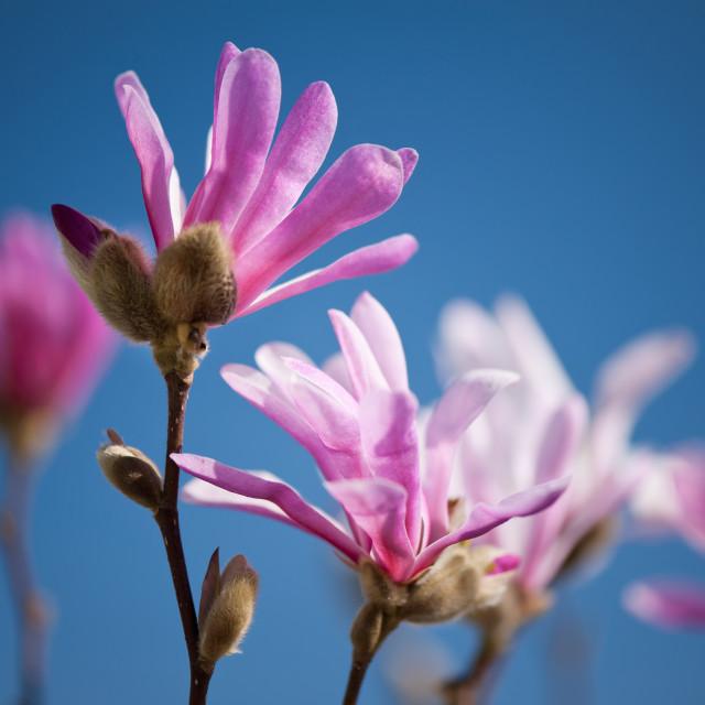 """Vibrant pink Magnolia flowers"" stock image"