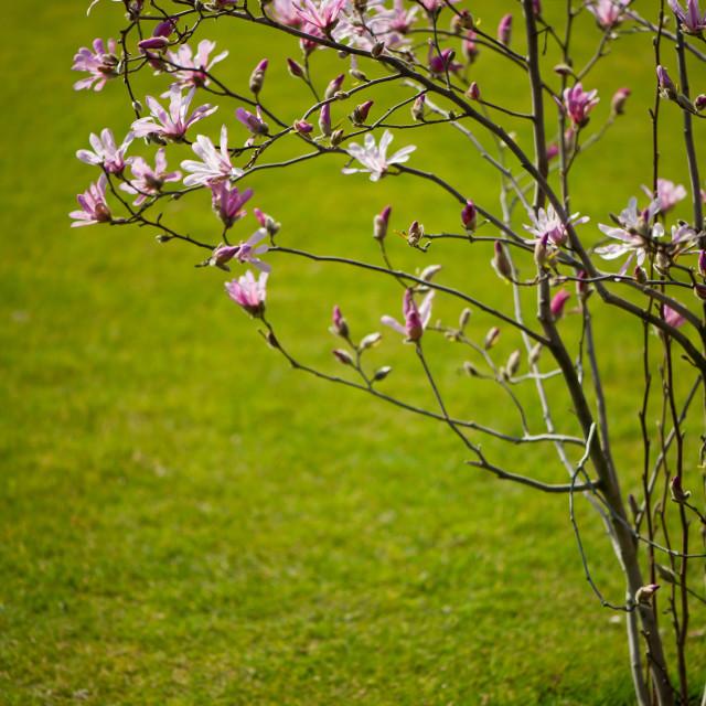 """Vibrant pink Magnolia blossoms"" stock image"