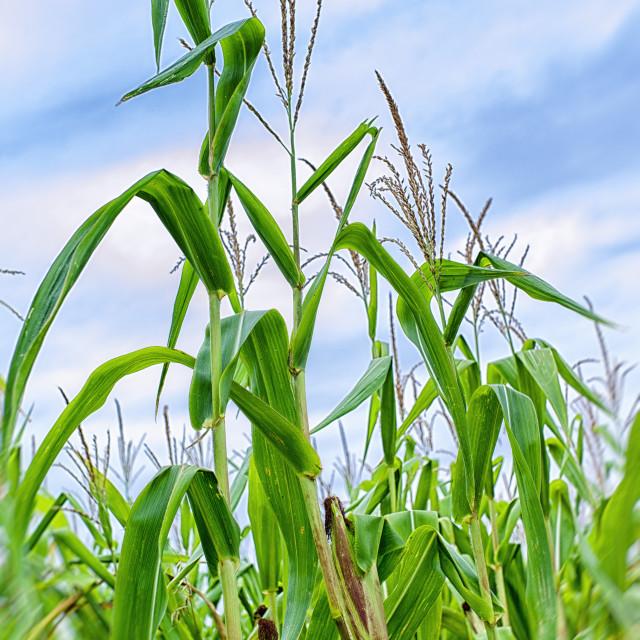 """Maize"" stock image"