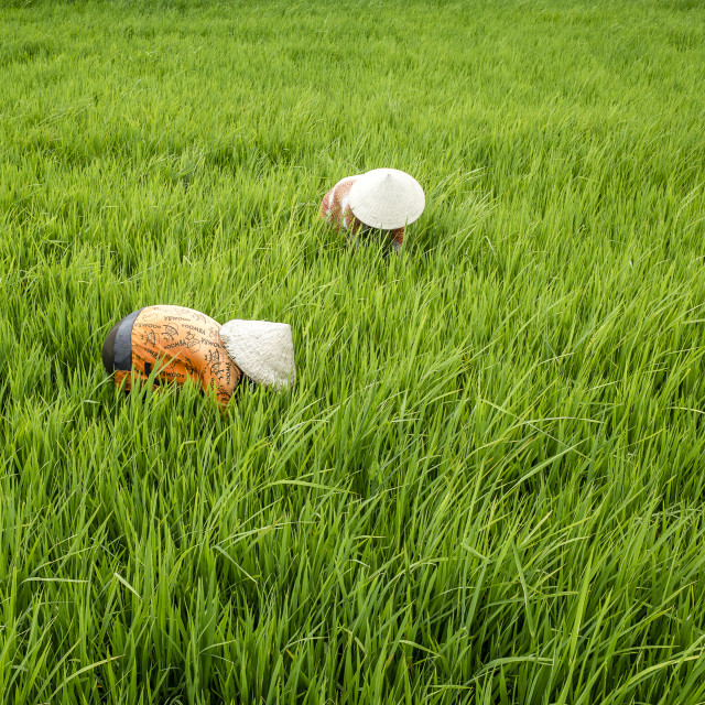 """Plant a field with rice"" stock image"