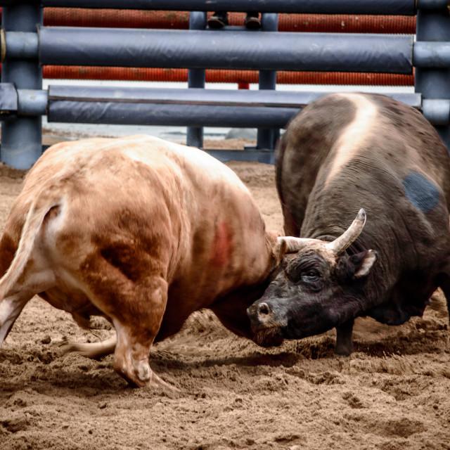 """Korean Bullfight"" stock image"