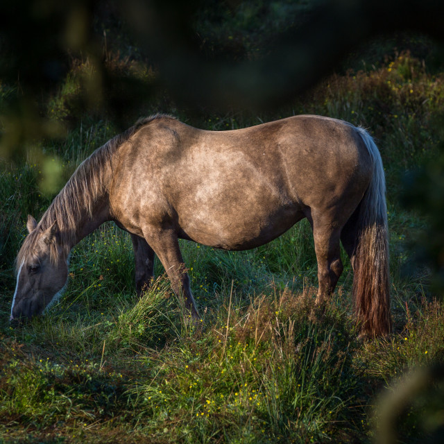 """Horse Grazing at Dawn"" stock image"