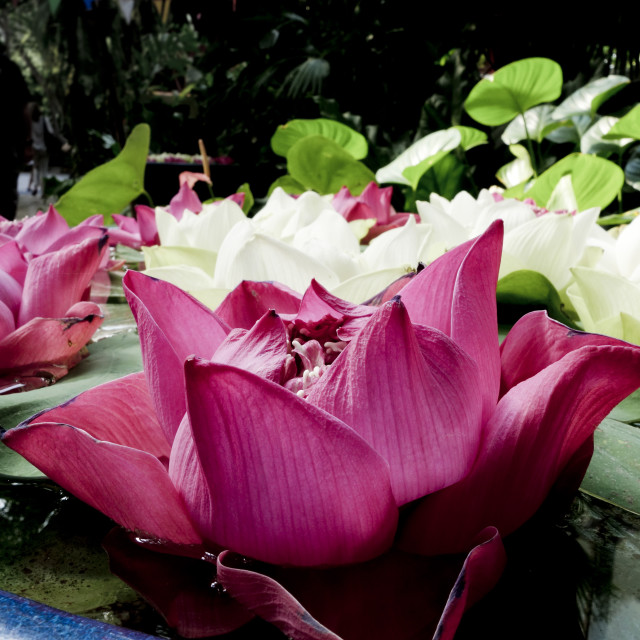 """White and purple Lotus flowers"" stock image"