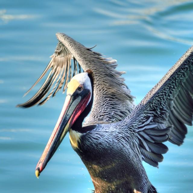 """Pelican Raising"" stock image"