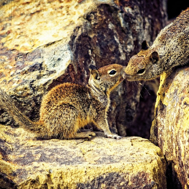 """""""Kissing Squirrels"""" stock image"""