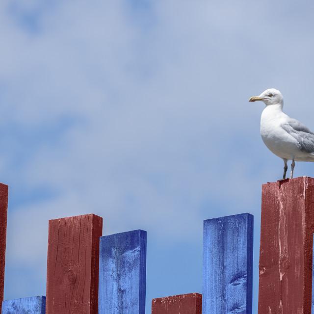 """""""Herring gull on fence"""" stock image"""