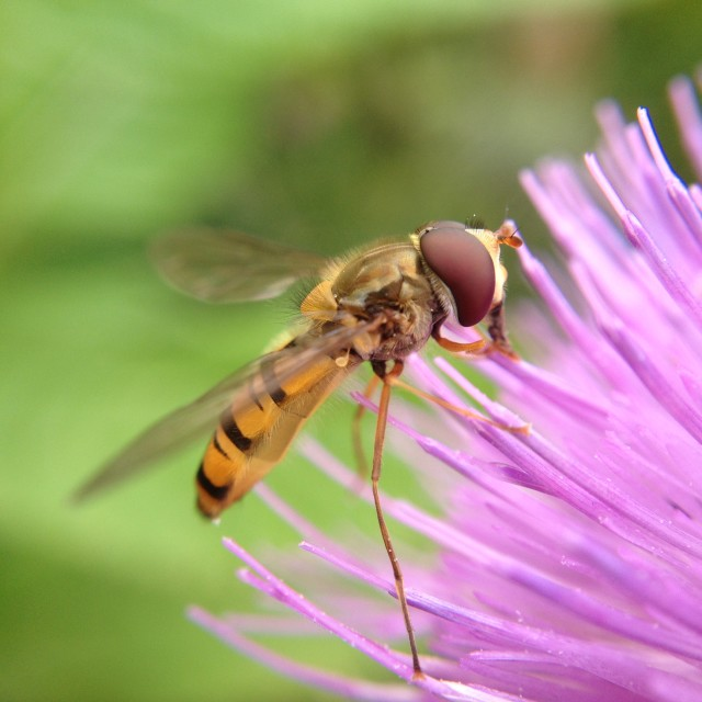"""Hover fly pollinating a thistle"" stock image"