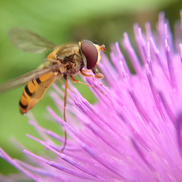 """""""Hover fly pollinating a thistle"""" stock image"""