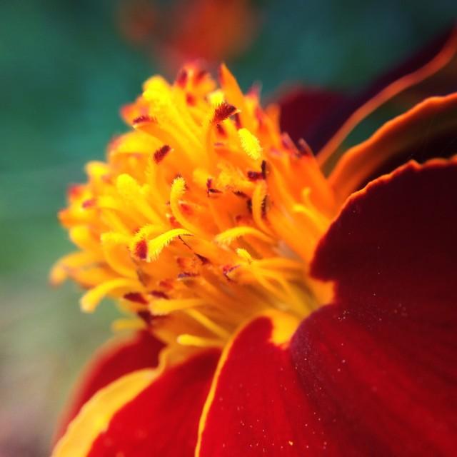 """French marigold flower"" stock image"