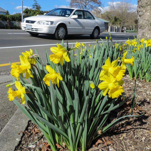 """Urban roadside daffodils."" stock image"