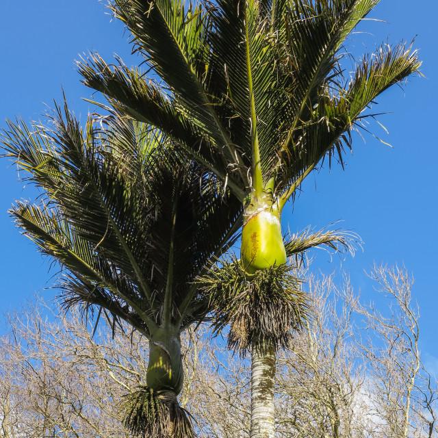 """""""Nikau palms"""" stock image"""