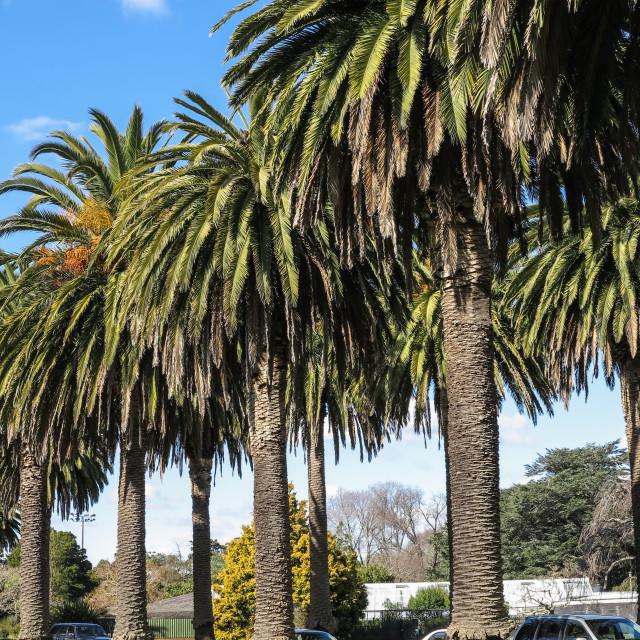 """Canary Island date palms."" stock image"