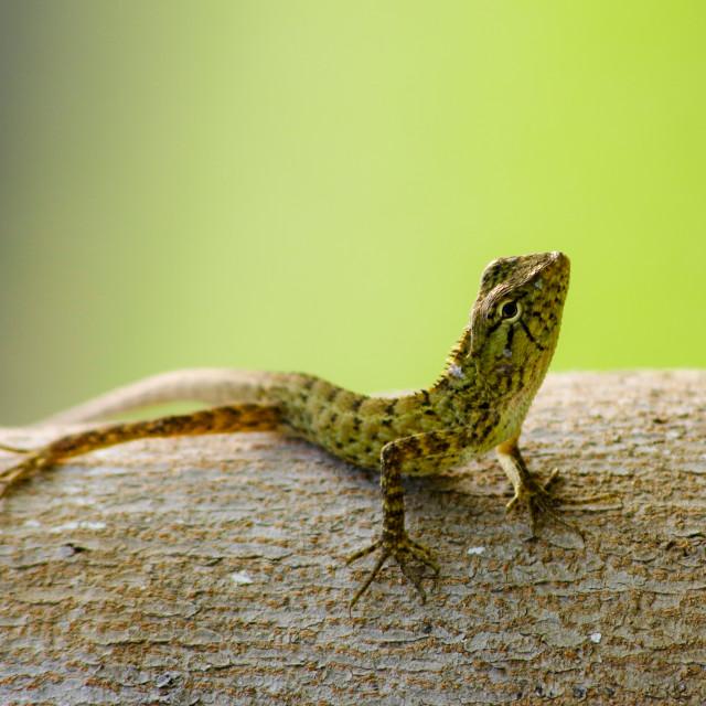 """""""Sunbathing gecko"""" stock image"""
