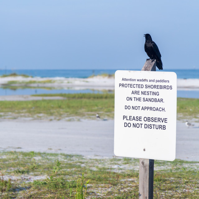 """""""Black bird perched on protected shorebirds sign"""" stock image"""
