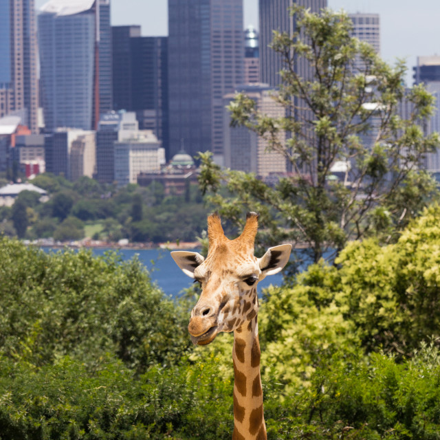 """Giraffes with a fabulous view of Sydney"" stock image"