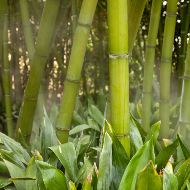"""Misty bamboo stems"" stock image"