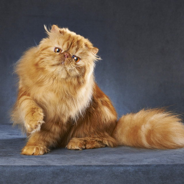 """Red persian cat"" stock image"