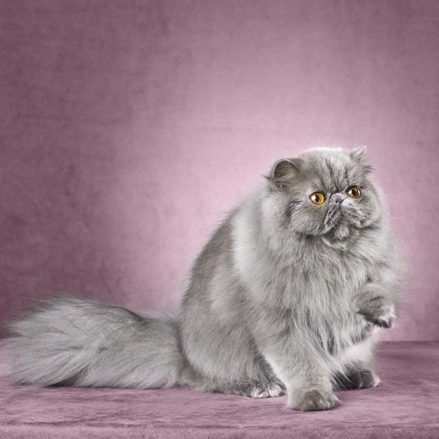 """Gray persian cat"" stock image"