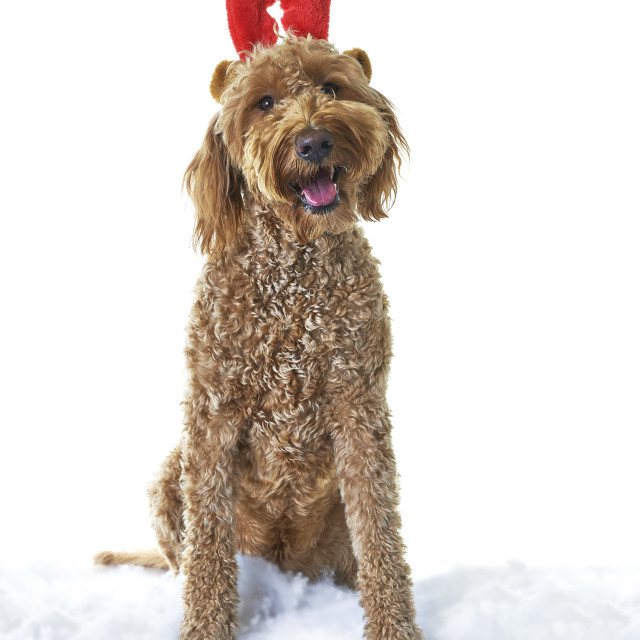 """""""Dog with red antlers"""" stock image"""