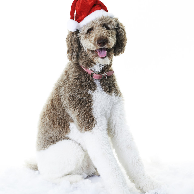 """Dog with Santa hat"" stock image"