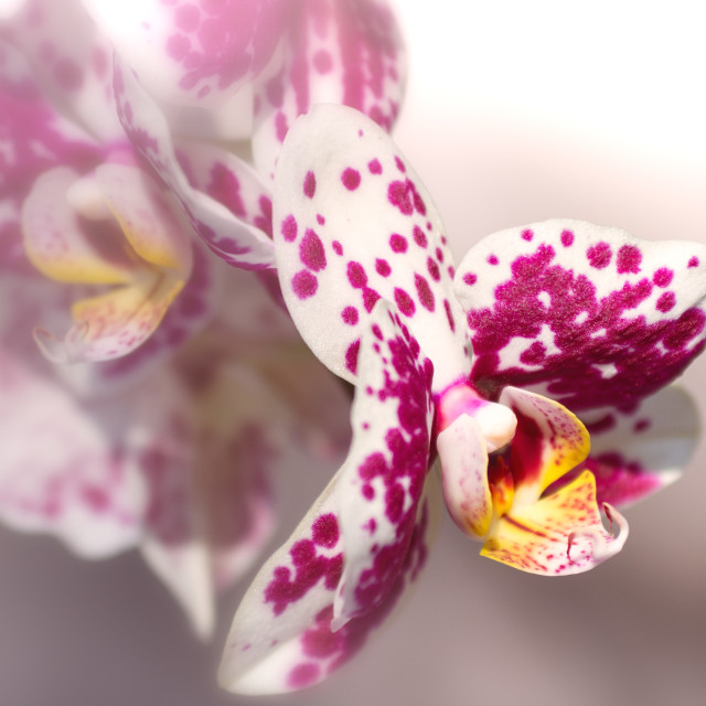 """Tiger orchid"" stock image"
