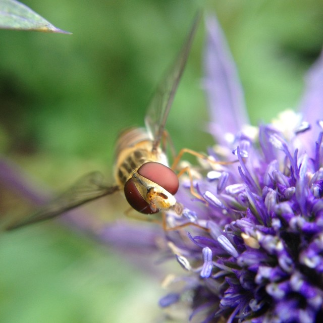 """""""Hover fly pollinating sea holly"""" stock image"""