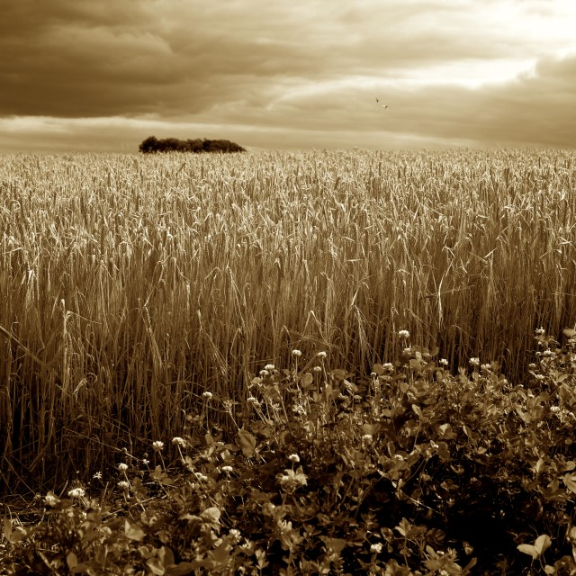 """Harvest Time - Barley/Wheat Field, Butterflies & Stormy Skies"" stock image"