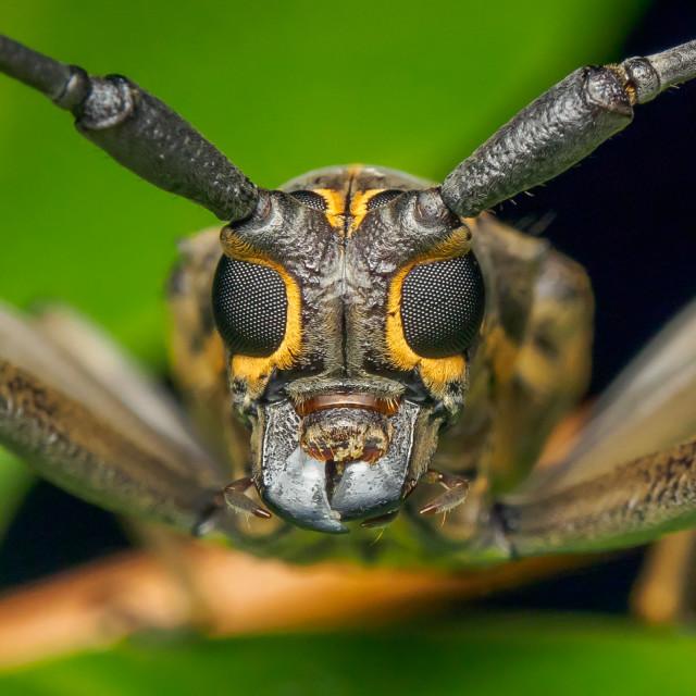 """Longhorn Beetle"" stock image"