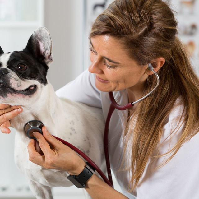 """""""By listening to a dog Veterinary bulldog French"""" stock image"""
