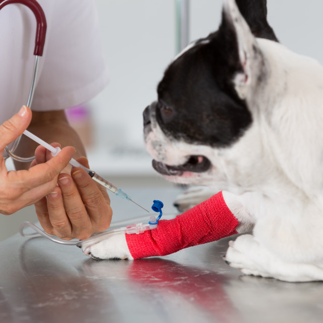 """""""Veterinary clinic with a French bulldog"""" stock image"""