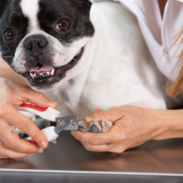 """French Bulldog in hairdressing"" stock image"