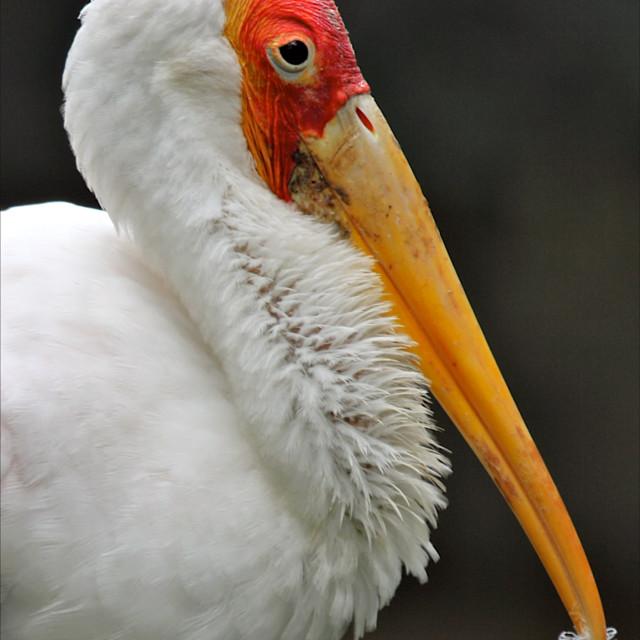 """Yellow-billed Stork"" stock image"