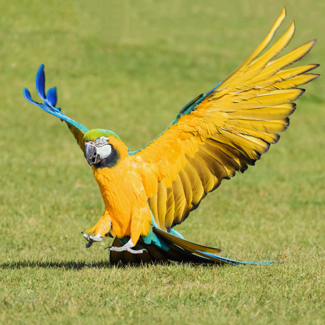 """Blue and Yellow Macaw coming in to land"" stock image"
