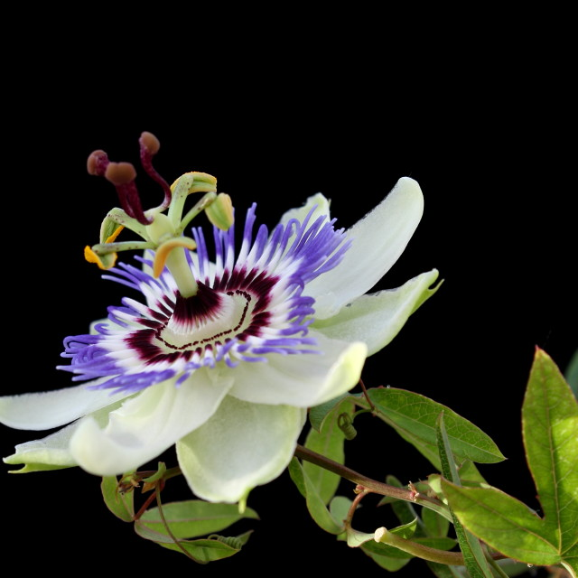 """Passiflora, Passion flower"" stock image"