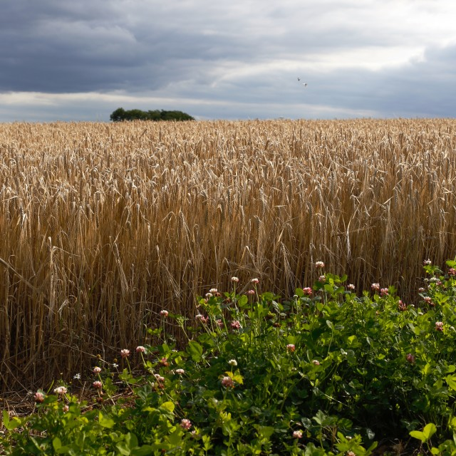 """Dramatic Barley Field with Stormy Sky at Harvest Time"" stock image"