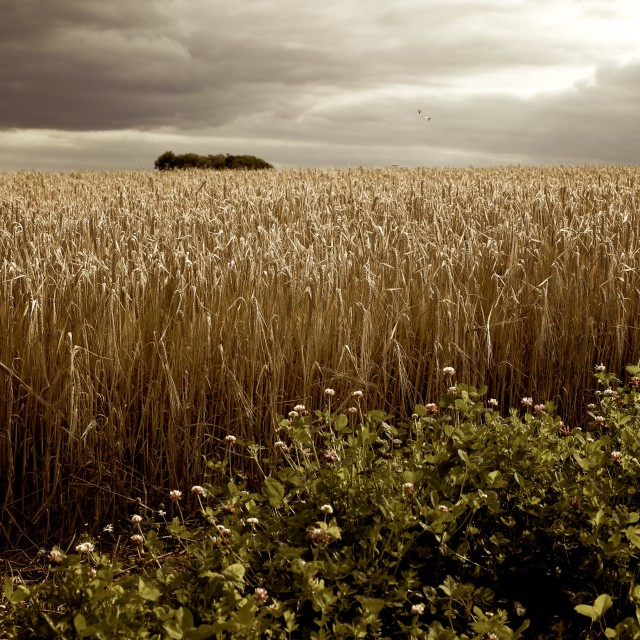 """Moody Barley Field with Stormy Sky at Harvest Time"" stock image"