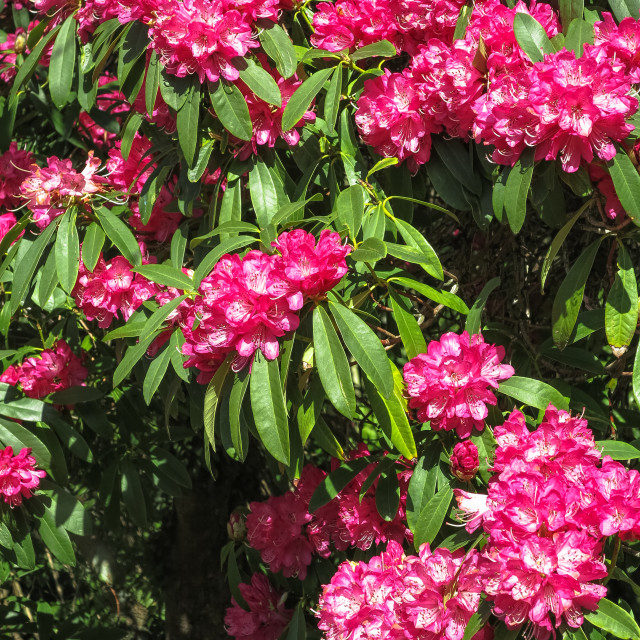 """""""Red rhododendron flowers"""" stock image"""