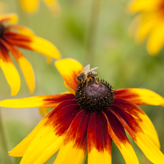 """""""Bee on the flower"""" stock image"""