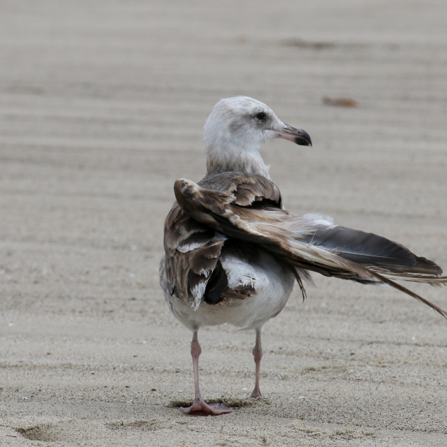 """The California Gull is injured at the Beach in Malibu"" stock image"