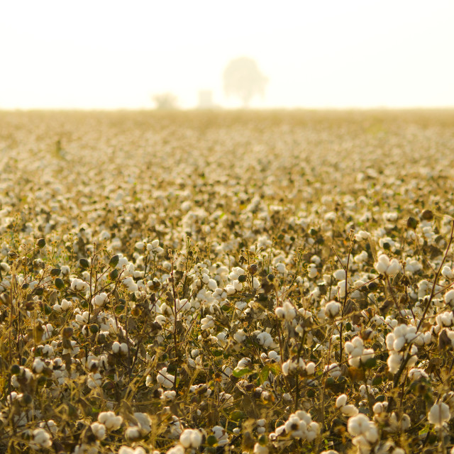 """Cotton field at sunset."" stock image"