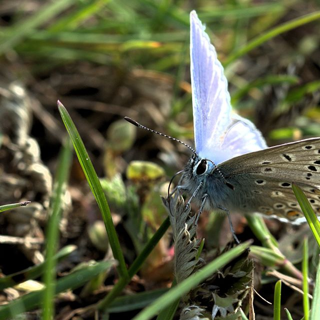 """Common Blue"" stock image"