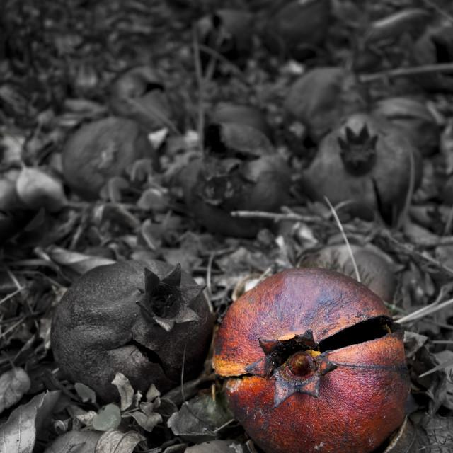 """Ripe pomegranate"" stock image"