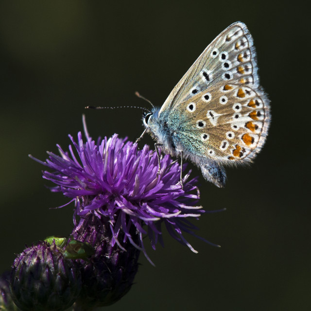 """Common Blue Butterly (Polommatus icarus) (IV)"" stock image"