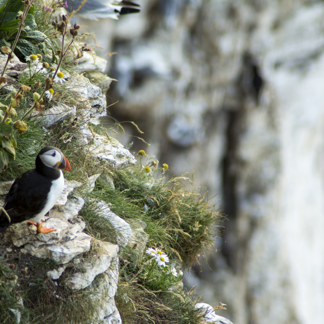 """Puffin on grassy cliffs"" stock image"