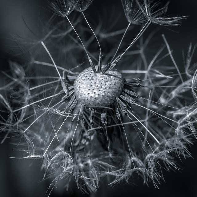 """A dandelion losing its seeds"" stock image"