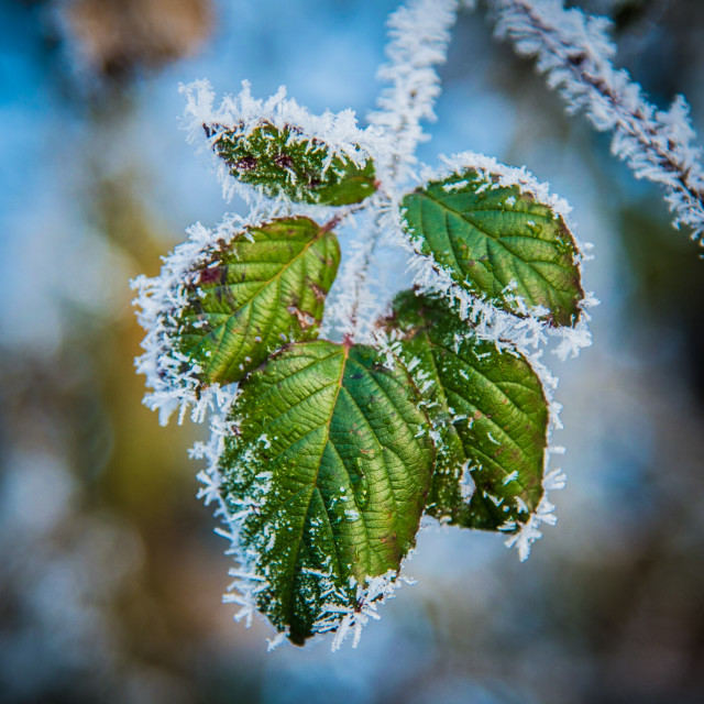"""""""Frosty Leaves"""" stock image"""