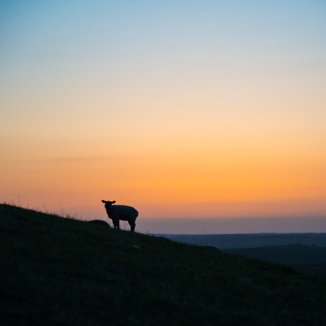 """""""Lonely sheep"""" stock image"""