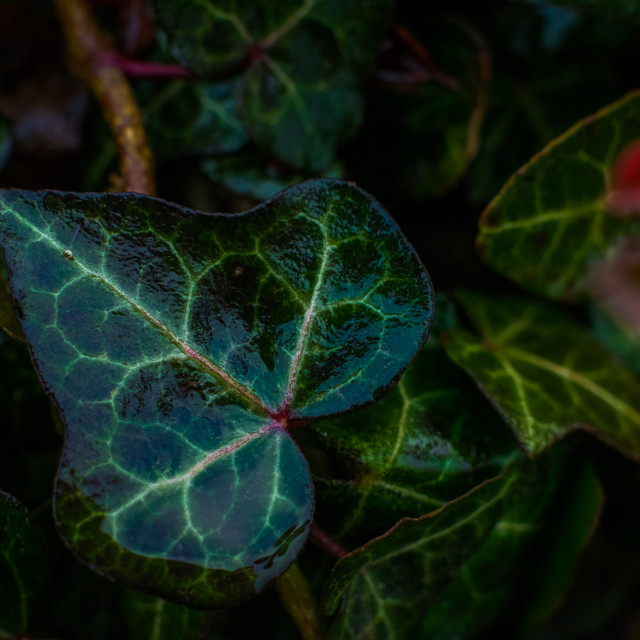 """Ivy leaf"" stock image"